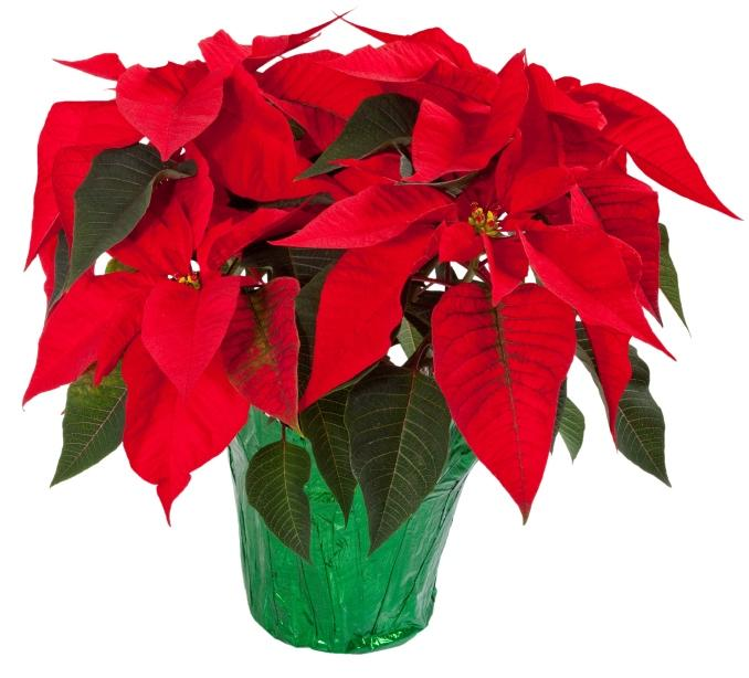 Poinsettia House Plant: How To Grow: Poisonous Holiday Plants