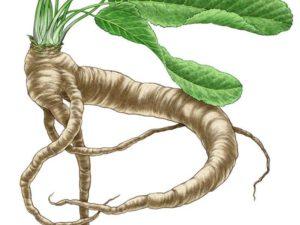 how to grow horse radish