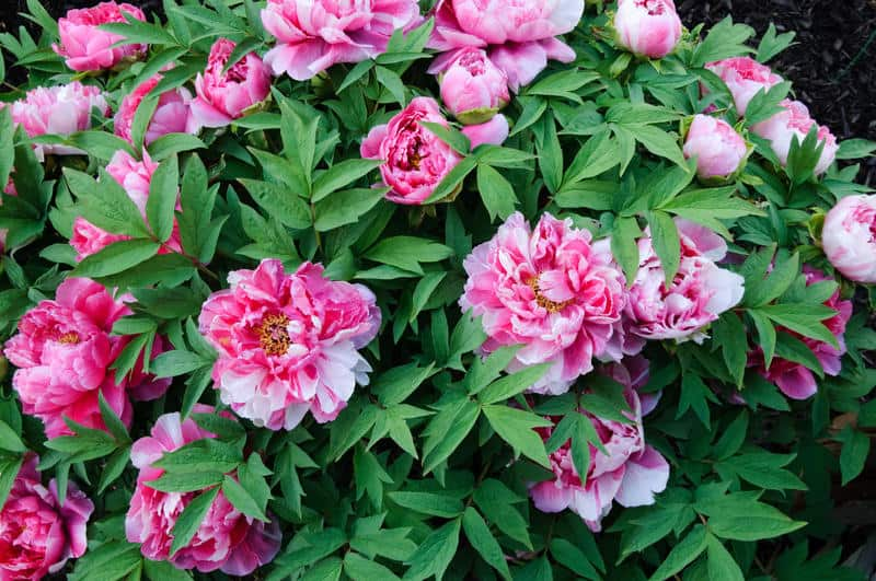 How to grow tree peonies growing and caring for tree peonies - Growing peonies in the garden ...