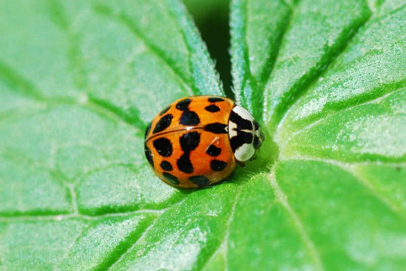 Asian Ladybug Control