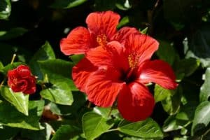 grow tropical hibiscus