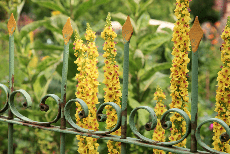 How to grow verbascum grow and care for this perennial flower this european native wildflower is in the snapdragon family but youd never know from its shape and size this plant has a flower spike that reaches 8 feet mightylinksfo