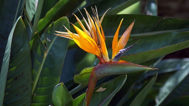 how to grow bird of paradise growing and caring for bird of paradise
