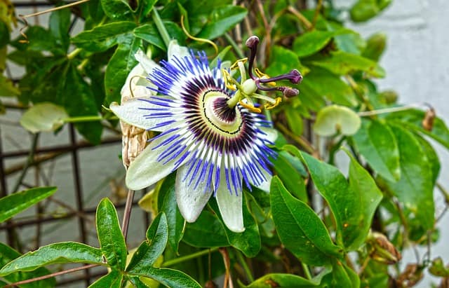 How to Grow: Passion Flower- Growing and Caring for Passion