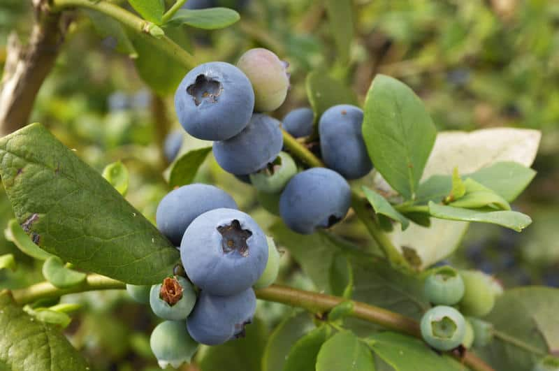 Pictures Of Young Blueberries